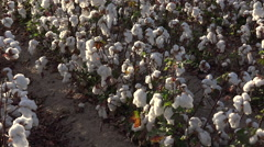 4K Cotton Field Rows Zoom Out Stock Footage