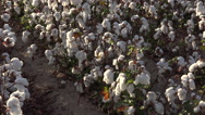 Stock Video Footage of 4K Cotton Field Rows Zoom Out