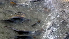 Industry for freshwater fish farming Stock Footage