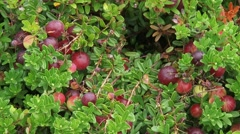 Cranberries + zoom out shrub Oxycoccus macrocarpos Stock Footage
