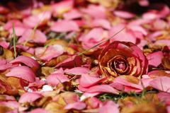 pink flower and petals - stock photo