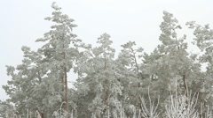 Tall pine trees covered with snow on a cloudy winter day Stock Footage