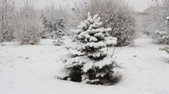 Snowfall asleep spruce in the park with snow Stock Footage