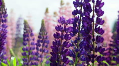 Field with blossoming violet and pink lupines Stock Footage