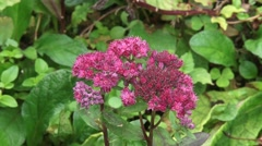 Orpine, Sedum telephium, with clusters of pink flowers and buds Stock Footage