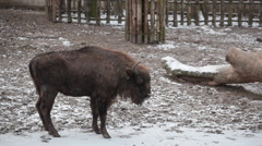 Bison walks under snowfall in the big open-air cage Stock Footage