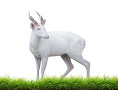 albino barking deer - stock photo