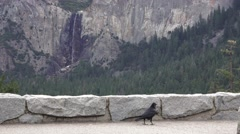 Yosemite National Park, Raven scavenger Stock Footage
