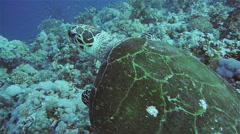 Hawksbill Turtle in the Red Sea Stock Footage