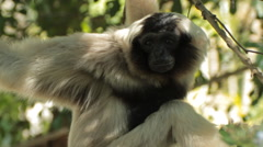 Pileated gibbon. Stock Footage