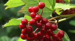 Viburnum opulus, Guelder Rose, Water Elder, branch with fruit + zoom out Stock Footage