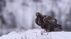 Golden Eagle on bait calling alerted looking around in winter scenery - stock footage
