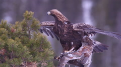 Golden Eagle with pray in pine tree spread wings alerted Stock Footage