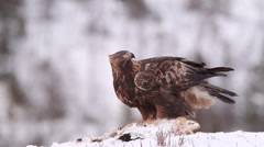 Golden Eagle on bait calling alerted looking around in winter scenery with audio Stock Footage