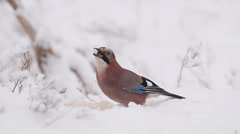 Eurasian Jay bird on ground snow in winter scenery fly away in the end Stock Footage