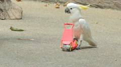 White Cockatoo bird rides scooter skateboard - stock footage