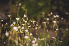 bee seating on white spring flower - stock photo