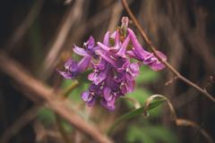 purple spring flowers hare bell - stock photo