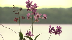 Fiji, Orchids at Sunset Stock Footage