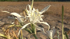 Sea daffodil Flowers on the coast beach, Pancratium maritimum. Stock Footage