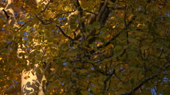 4K Beautiful Colorful Fall Tree Leaves Zoom Out Stock Footage