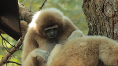 Two gibbons Stock Footage