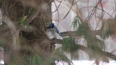Bluejay sits in the cover of branches Stock Footage