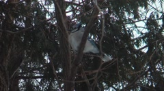 Bluejay sitting in tree Stock Footage