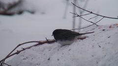 Junco bird eating seeds Stock Footage