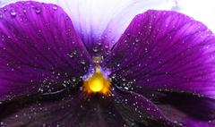 Tricolor wet  pansy flower plant natural background - stock photo