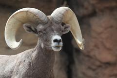 bighorn sheep (ovis canadensis) - stock photo