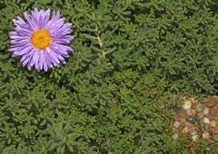 Single purple flower growing in the green Stock Photos