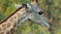Giraffe's head Stock Footage