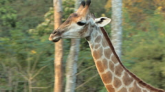 Giraffe walking. Stock Footage