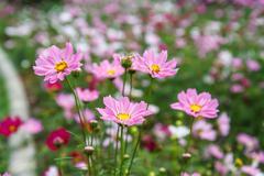 cosmos flowers in garden - stock photo