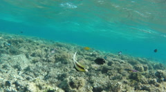 Pennant coralfish or bannerfish in the Red Sea - Egypt Stock Footage