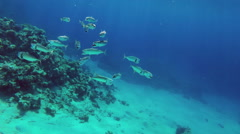 School of Indian mackerel feeding in Red Sea, Egypt Stock Footage