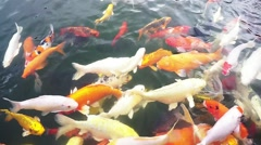 Colorful Koi fish in the pond - stock footage
