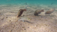 Fish feeding on the sandy bottom of the Red Sea, Egypt Stock Footage