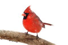 Northern cardinal on white Stock Photos