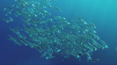 school of Indian mackerel feeding in Red Sea, Egypt - stock footage