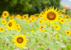 Sunflower in the field and blur background - stock photo