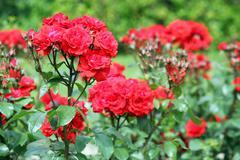 Red roses flower spring season Stock Photos