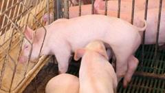 Piglets in pork farm Stock Footage
