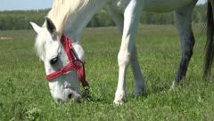 4K White Mountain Horse Grazing and Trundling in Grass, Playful Young Horse Stock Footage