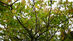 Slider shot of approaching the apricot tree foliage. Stock Footage