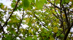 Tracking shot of approaching the apricot tree foliage. Stock Footage