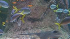 Two stingrays swim past tropical fish Stock Footage