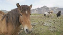 Horses - Icelandic horse close-up, Iceland Stock Footage