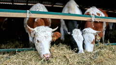 Dairy cows in the stable Stock Footage